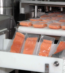 Salmon being processed at Marine Harvest Chile