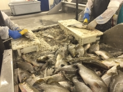 Behind the scenes at Channel Fish Processing in Boston