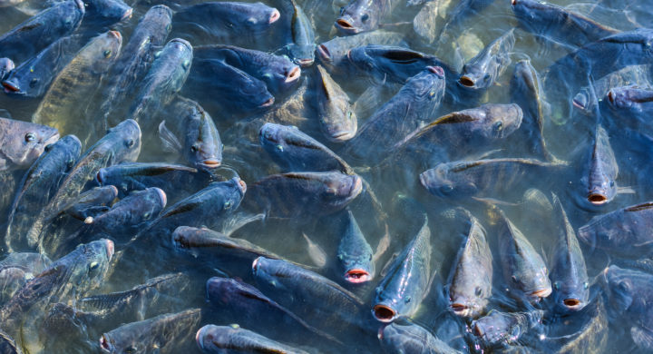 Protracted US-China spat to forever alter tilapia trade