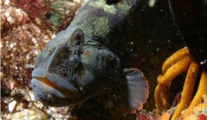 Vegetarian 'monkeyface prickleback' flagged up as potential aquaculture species - Undercurrent News