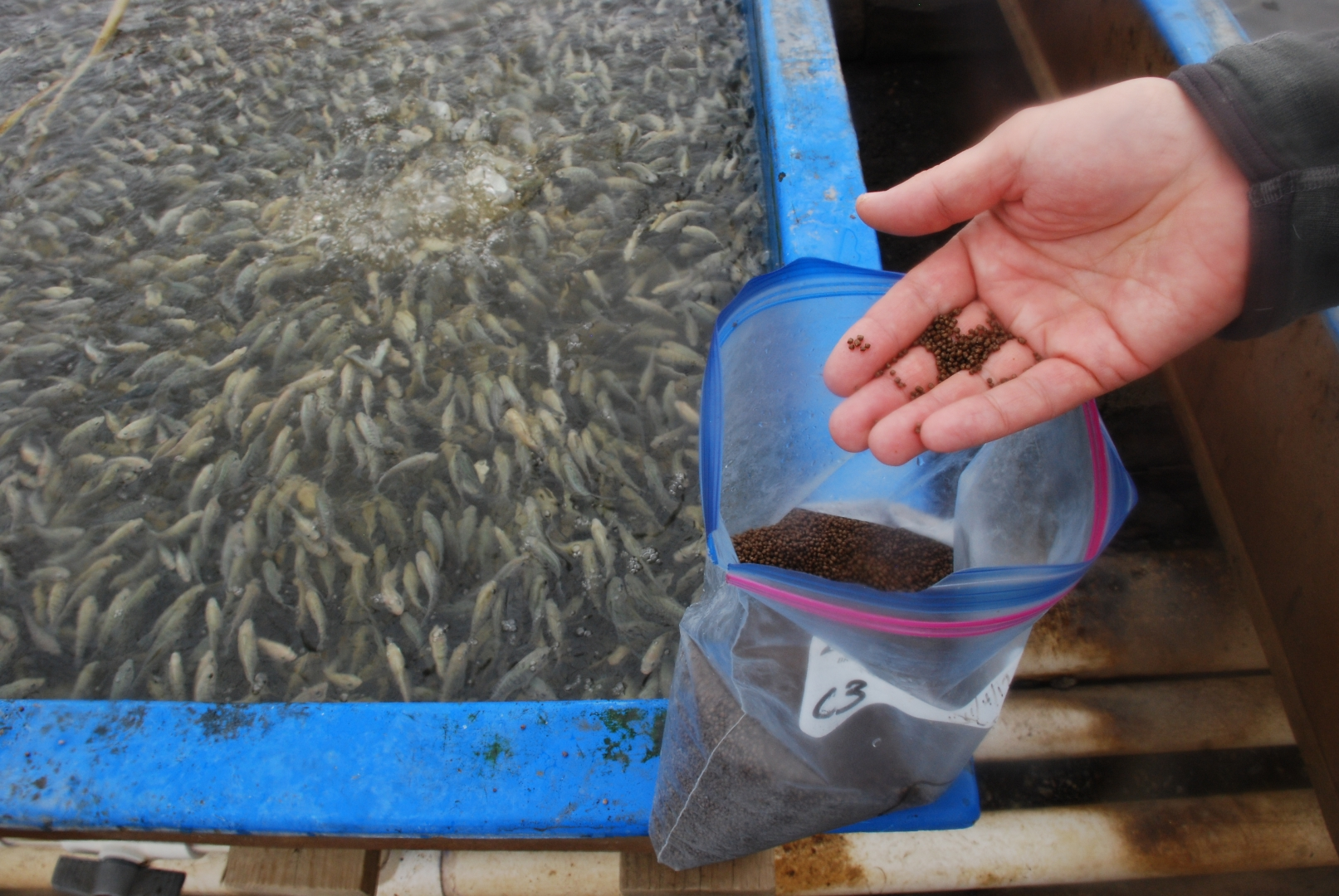 Tilapia Fingerlings Feast On Pellets From Blue Ridge Aquacultures Own Feed Mill